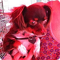 Adopt A Pet :: Abigail - North Hollywood, CA