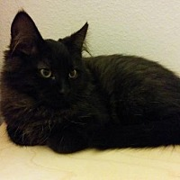 Domestic Mediumhair Cat for adoption in Fullerton, California - Mozart