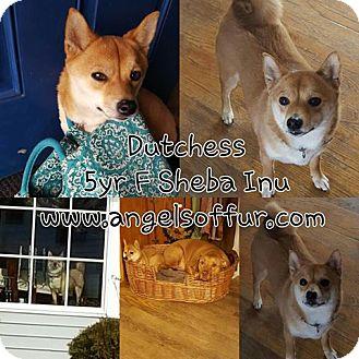 Shiba Inu Dog for adoption in ROME, New York - Dutchess