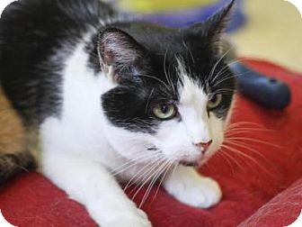 Domestic Shorthair Cat for adoption in Indianapolis, Indiana - Fauna