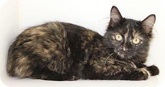 Domestic Mediumhair Kitten for adoption in Council Bluffs, Iowa - Mallory
