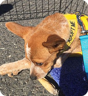 Australian Cattle Dog Mix Puppy for adoption in Westwood, New Jersey - Tigger