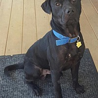 Labrador Retriever/Terrier (Unknown Type, Medium) Mix Dog for adoption in Southeastern, Pennsylvania - Bear