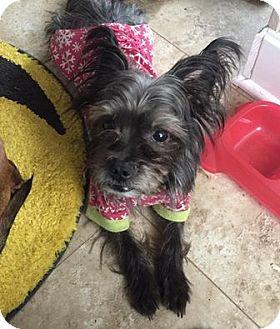 Schnauzer (Miniature)/Terrier (Unknown Type, Small) Mix Dog for adoption in Middletown, Ohio - Luke