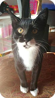Domestic Shorthair Kitten for adoption in Baltimore, Maryland - Michelle
