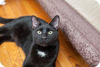Domestic Shorthair Kitten for adoption in Statesville, North Carolina - Ryder