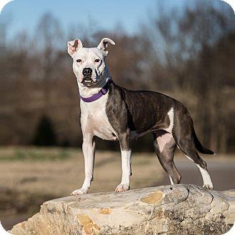 Boxer Mix Dog for adoption in Harrisburg, Pennsylvania - SOPHIE