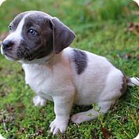 Adopt A Pet :: Peony - Washington, DC