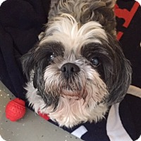 Adopt A Pet :: Gizmo - Ile-Perrot, QC
