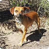 Adopt A Pet :: Magnificent LIL Ms Mabel Chiweenie - Albuquerque, NM