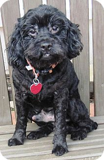 Poodle (Miniature)/Cocker Spaniel Mix Dog for adoption in Hagerstown, Maryland - Dusty