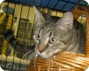 Abyssinian Cat for adoption in Dallas, Texas - Sydney