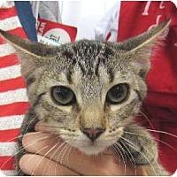 Domestic Shorthair Kitten for adoption in Schertz, Texas - Duncan