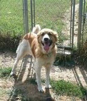 St. Bernard/Collie Mix Dog for adoption in Flintstone, Maryland - Misty