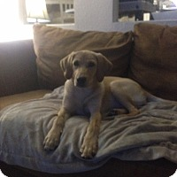 Adopt A Pet :: HONEY BEAR - Boca Raton, FL