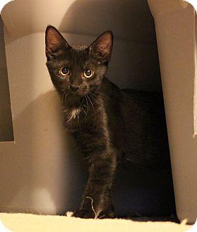 Domestic Shorthair Kitten for adoption in Carlisle, Pennsylvania - OonaPENDING