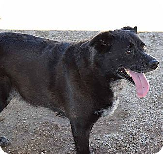 Shepherd (Unknown Type)/Australian Cattle Dog Mix Dog for adoption in Sierra Vista, Arizona - Koko
