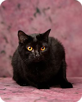 Domestic Shorthair Cat for adoption in Harrisonburg, Virginia - Sandy Claws