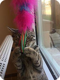 Domestic Shorthair Kitten for adoption in Cumming, Georgia - Mac