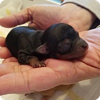 Chihuahua Puppy for adoption in Chantilly, Virginia - Prince Eric