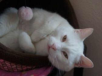 Domestic Shorthair Cat for adoption in Libby, Montana - Snowball