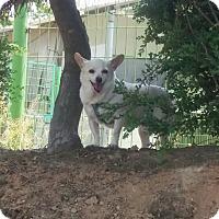 Chihuahua Mix Dog for adoption in Oakton, Virginia - Honey - Adoption Pending