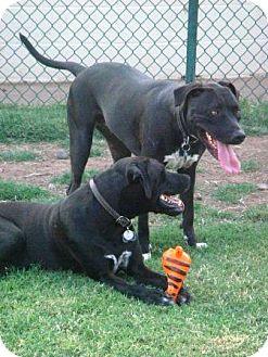 Labrador Retriever Mix Dog for adoption in Gilbert, Arizona - Heidi & Lars