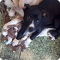 Adopt A Pet :: Sargent - Costa Mesa, CA
