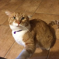 Domestic Shorthair Cat for adoption in Tracy, California - Angie
