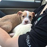 Adopt A Pet :: Evie - Chicago, IL