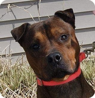 Shar Pei Mix Dog for adoption in Monroe, Michigan - Camu