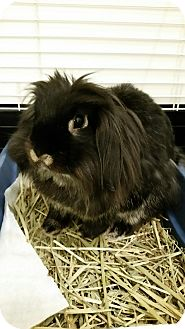 Lionhead Mix for adoption in Montclair, California - Lulubell