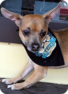 Chihuahua Dog for adoption in Bridgeton, Missouri - Stitch
