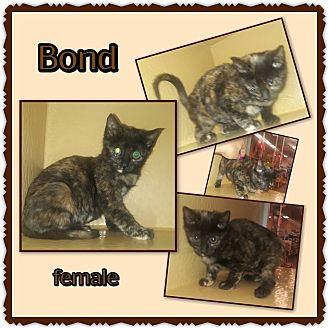 Domestic Shorthair Kitten for adoption in Richmond, California - Bond