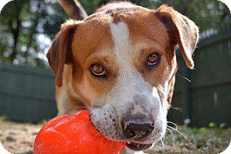 Basset Hound Mix Dog for adoption in Breinigsville, Pennsylvania - Tane **in a foster home**