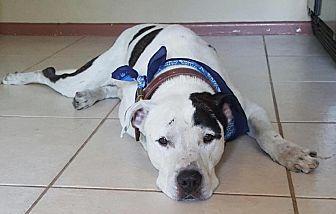 American Bulldog/Great Dane Mix Dog for adoption in Tampa, Florida - Harvey
