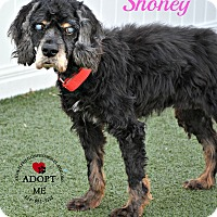 Adopt A Pet :: Shoney - Youngwood, PA