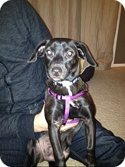 Dachshund/Terrier (Unknown Type, Small) Mix Puppy for adoption in Madison, New Jersey - Pipkin