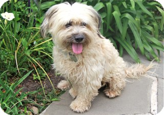 Wheaten Terrier/Tibetan Terrier Mix Dog for adoption in Norwalk, Connecticut - Doliver -adoption pending