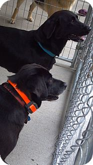 Labrador Retriever Mix Dog for adoption in Morgantown, West Virginia - Shadow