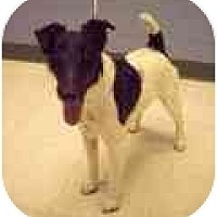 Adopt A Pet :: Spy - Longmont, CO