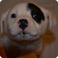 Adopt A Pet :: Liam - Westminster, CO