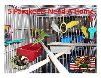 Parakeet - Other for adoption in Vancouver, Washington - 5 Parakeets