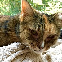 Adopt A Pet :: Snickers! A sweet survivor - Brooklyn, NY