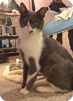 American Shorthair Cat for adoption in Jacksonville, Florida - Alpine