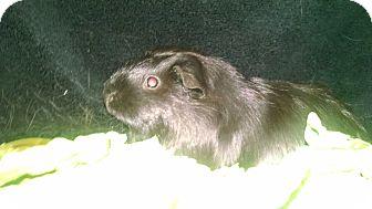 Guinea Pig for adoption in Aurora, Colorado - Beauty