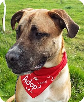 Mastiff Mix Dog for adoption in Grants Pass, Oregon - Diesel