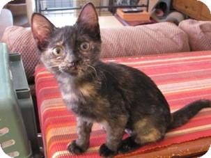 Domestic Shorthair Kitten for adoption in Diamond Bar, California - BUFFY
