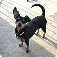 Adopt A Pet :: Karly is a man's dog! - Copperas Cove, TX