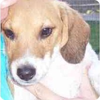 Adopt A Pet :: Storm - Phoenix, AZ